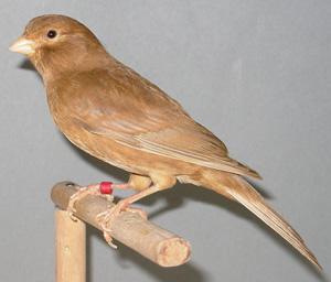 brauner vogel mit schwarz weissen federn